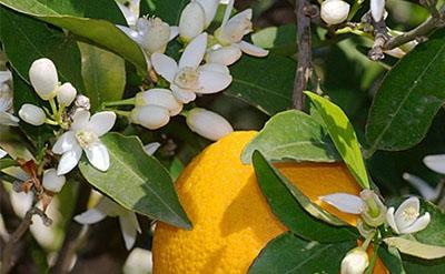 橙花精油的功效与作用_副作用和使用方法