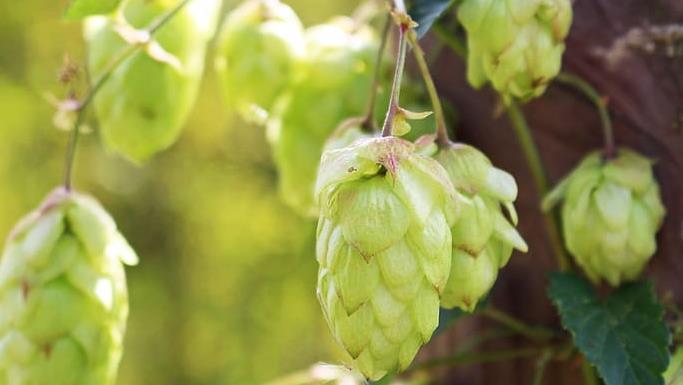 啤酒花精油是什么_功效与作用_副作用禁忌