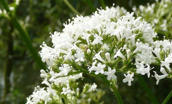 缬草精油可以缓解焦虑和抑郁帮助放松吗