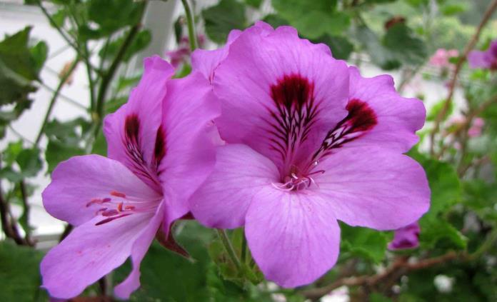 天竺葵花,老鹳草