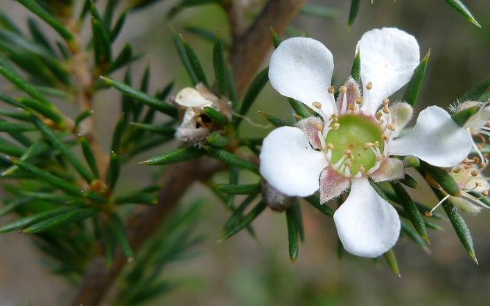茶树精油,茶树花