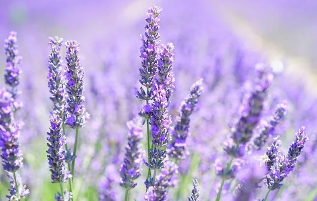 薰衣草开花 熏衣草 紫 薰衣草字段 鲜花 植物群 花香 薰衣草花 薰衣草种植 野生植物