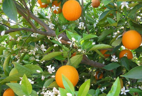 橙花,橙子,橘子,橙花精油